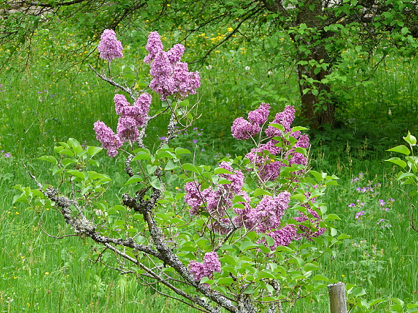 Flower Photograph - Lilac In The Spring Meadow by Valerie Ornstein