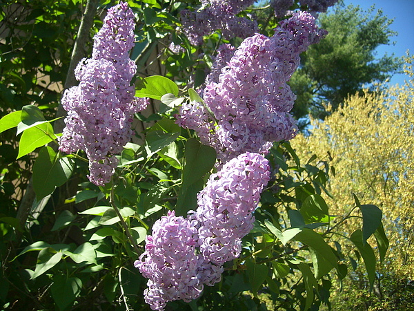Lilacs  Photograph by Lisa Roy