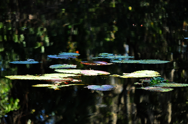 Water Photograph - Lillies by Tito Santiago