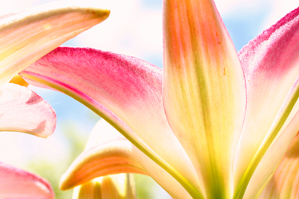 Flower Photograph - Lily And Clouds by Steve Augustin