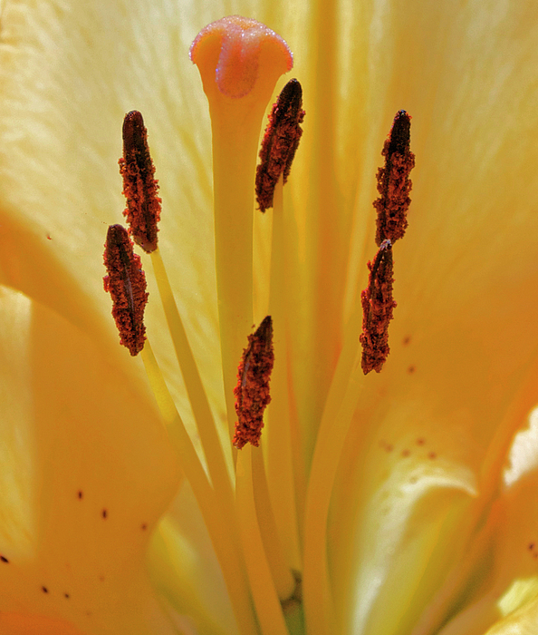 Lily Photograph - Lily Forest by Gwyn Newcombe