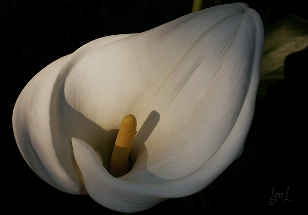 White Photograph - Lily In Shadow by S Lynn Lehman