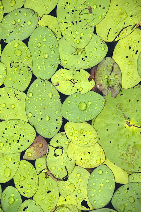Lily Pads Photograph - Lily Pads by Jessica Wakefield