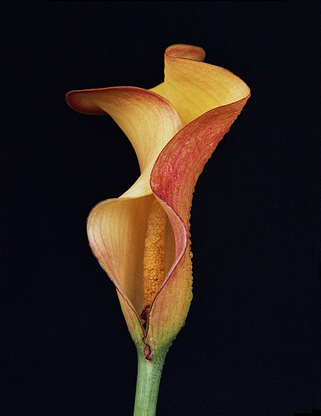 Lily Photograph - Lily Study 06 by Joe Darin