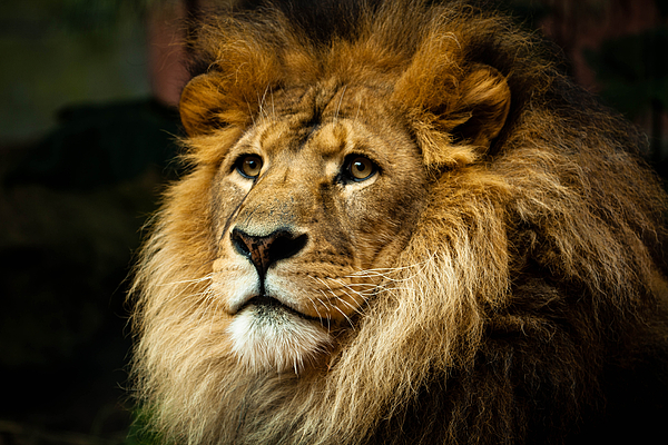 Horizontal Photograph - Lion by Ann Clarke Images