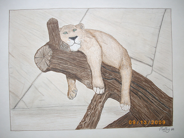 Lioness Drawing - Lion Around by Jason Mally