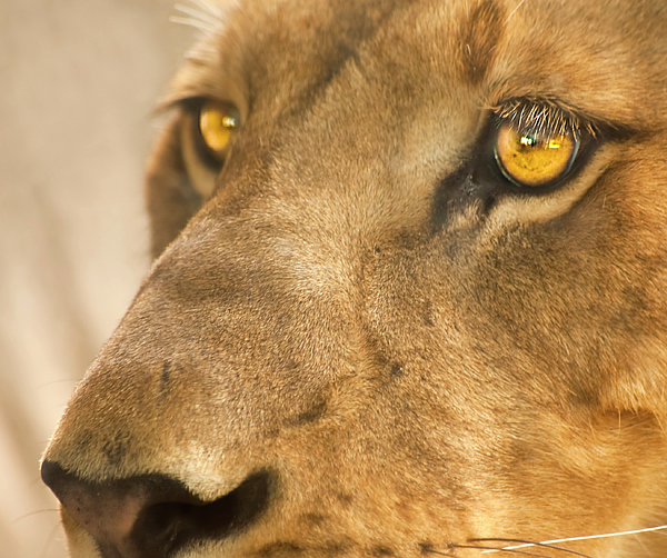 Lion Photograph - Lion Face by Carolyn Marshall
