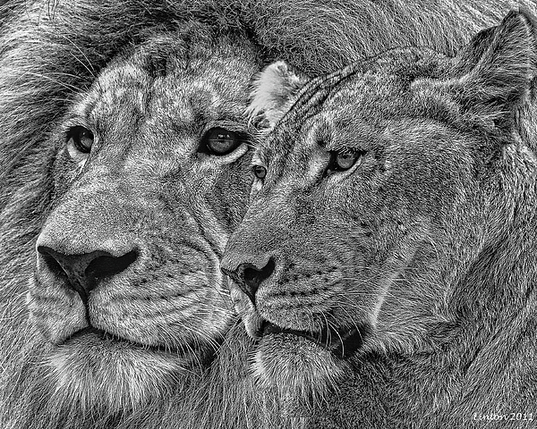 Lion Mixed Media - Lion King And Queen by Larry Linton