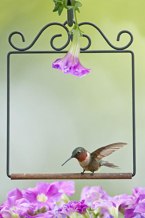 Hummingbird Photograph - Little Hummer Inspecting The Garden by Bonnie Barry