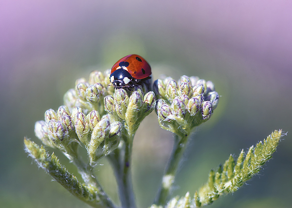 Ladybug Photograph - Little Lady On Top by Bill Tiepelman