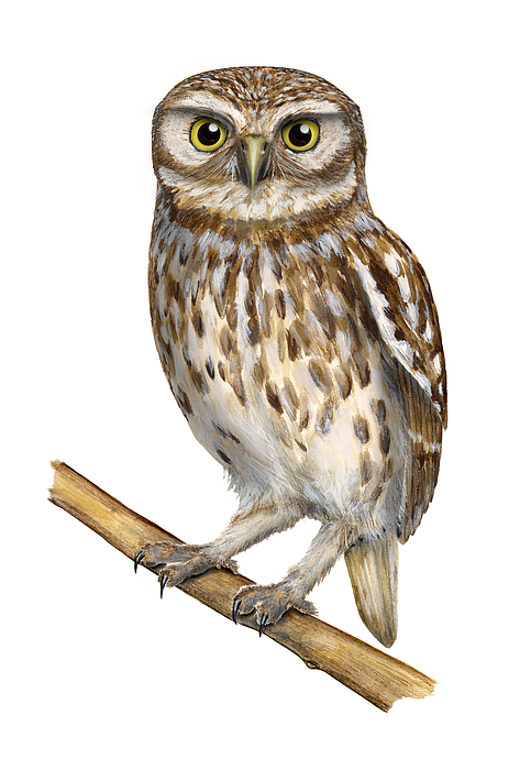 Little Owl Painting - Little Owl Or Minervas Owl Athene Noctua - Goddess Of Wisdom- Chouette Cheveche- Nationalpark Eifel by Urft Valley Art
