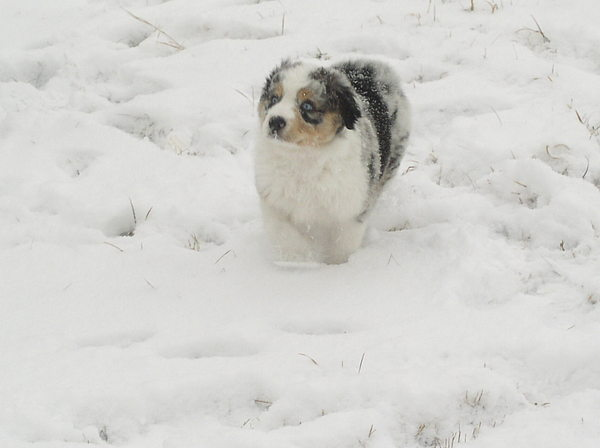 Puppy Photograph - Logan In The Snow by Julie Walker