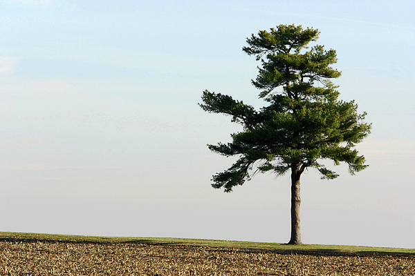 Abstract Photograph - Lonesome Fir by Alan Look