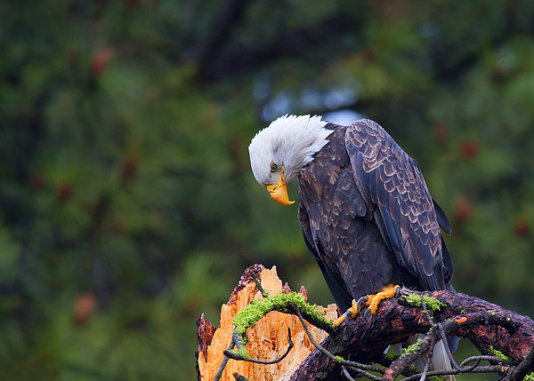 Bald Eagle Photograph - Looking Down On The World by Mike  Dawson
