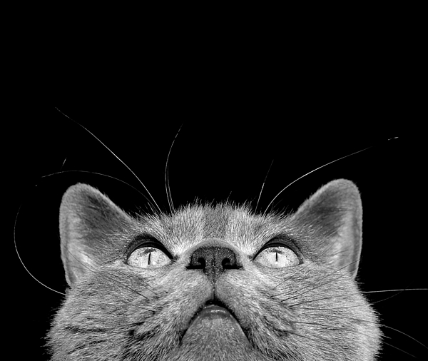 Cat Photograph - Looking Up by Laura Melis