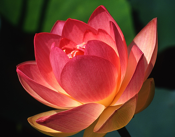 lotus blossom photograph by jerry weinstein
