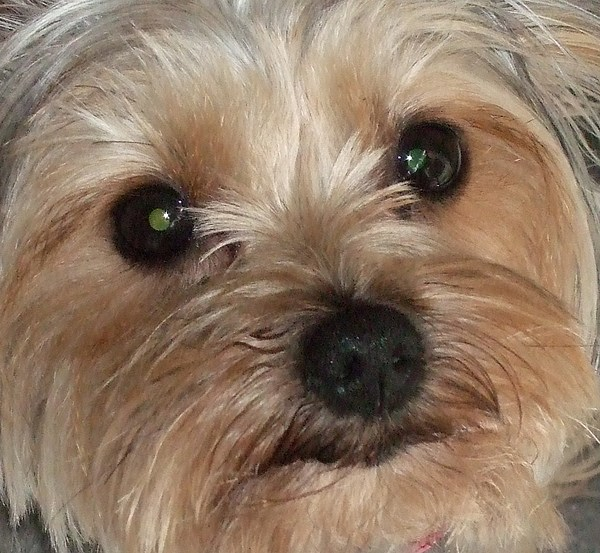 Yorkshire Terrier Photograph - Love Me by Deborah Brewer