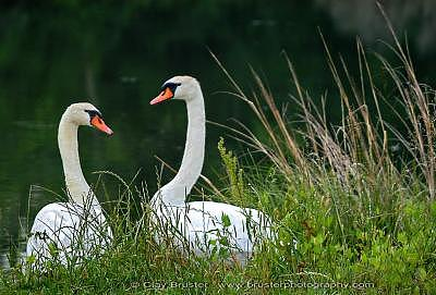 Clay Photograph - Loving Swans by Clayton Bruster