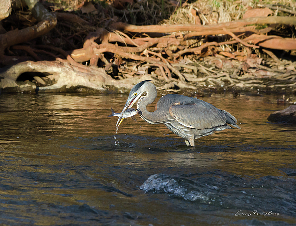 Heron Photograph - Lunch On The Neuse River by George Randy Bass