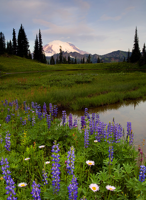Rainier Photograph - Lupine Sunrise by Mike  Dawson