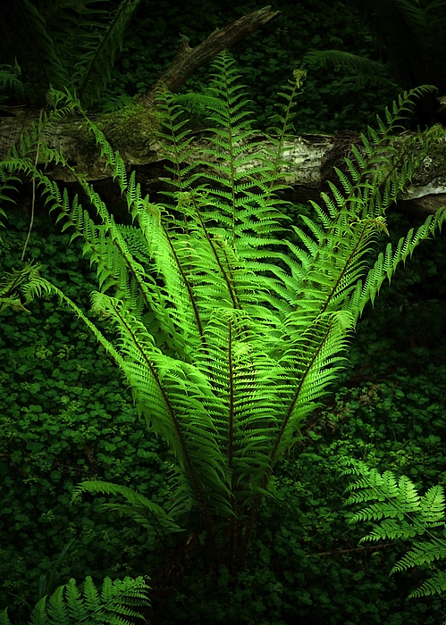 Black Photograph - Magic Fern by Svetlana Sewell