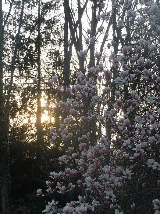 Magnolia Photograph - Magnolia At Sunset by McLaine White