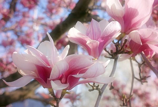 Magnolias Photograph - Magnolia Blossoms by Sandy Keeton