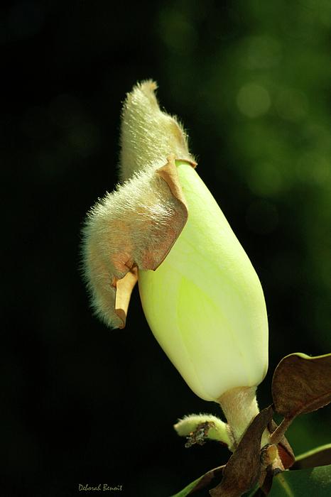 Magnolia Flower Photograph - Magnolia Bud by Deborah Benoit