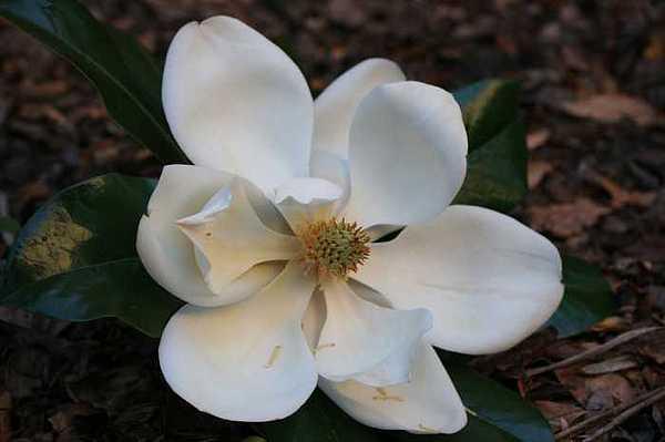 Floral Photograph - Magnolia by Ofelia  Arreola