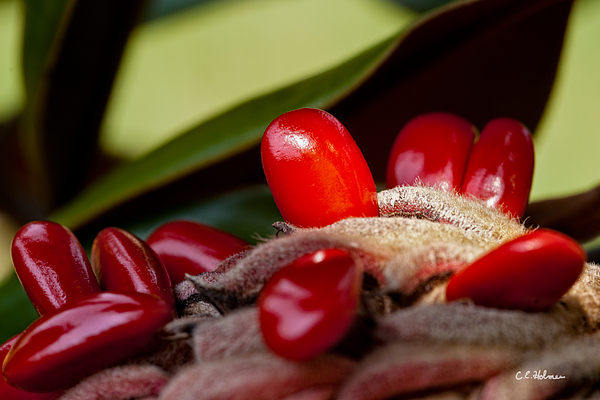 Seed Photograph - Magnolia Seeds by Christopher Holmes