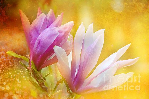 Flowers Photograph - Magnolias by Elaine Manley