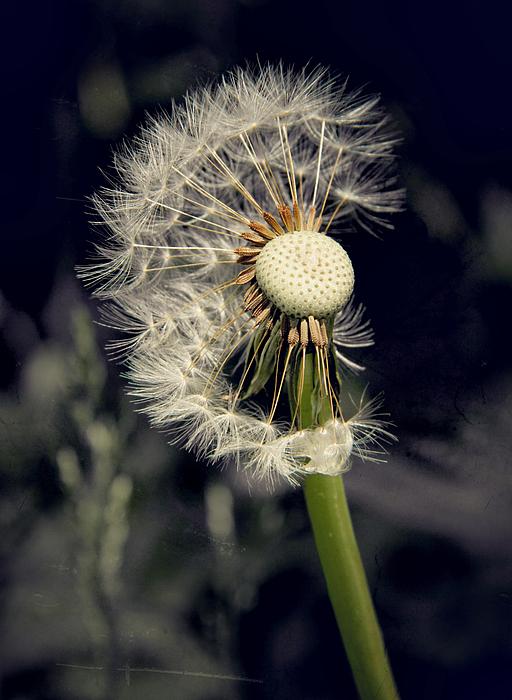 Dandelion Photograph - Make A Wish by Odd Jeppesen