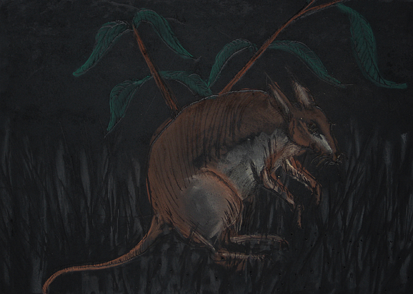 Malagasy Giant Jumping Rat Drawing by Darkest Artist