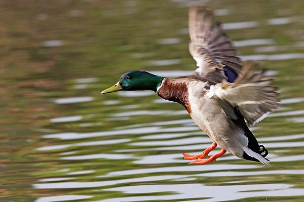 Mallard Photograph - Mallard Landing by Randall Ingalls