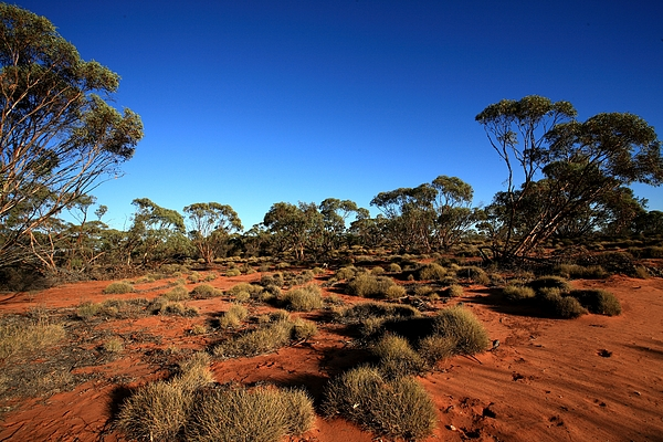 Mallee Photograph - Mallee And Spinifex by Tony Brown