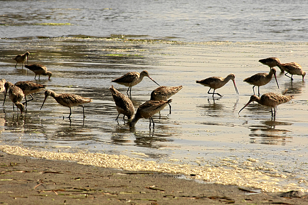Seabirds.shorebirds.marbled Godwit Photograph - Marbled Godwit Birds At Sunset by Christine Till