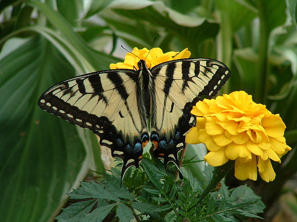 Butterfly Photograph - Marigold And Butterfly by Emerald GreenForest