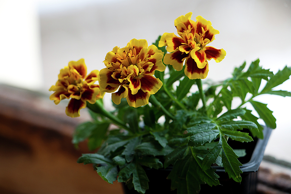 Marigold In Winter Photograph by Jeff Severson