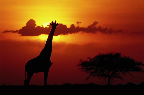 Mp Photograph - Masai Giraffe Giraffa Camelopardalis by Gerry Ellis