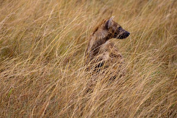 Masai Mara Photograph - Masai Mara Hyena by Paco Feria
