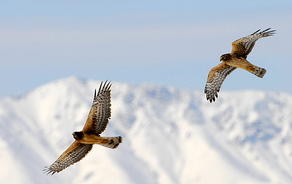 Bird Photograph - Mating Pair Harrier Hawks by Dennis Hammer