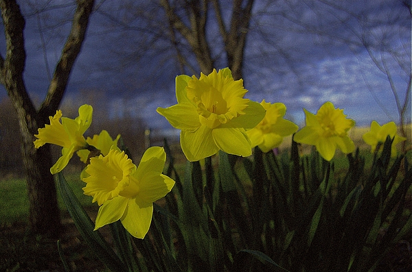 Daffodil Photograph - May Bouquet 1 by The Stone Age