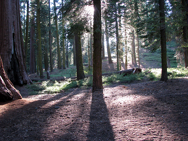 Giant Sequoia Photograph - Mckinley Grove Shadows by Chris Gudger