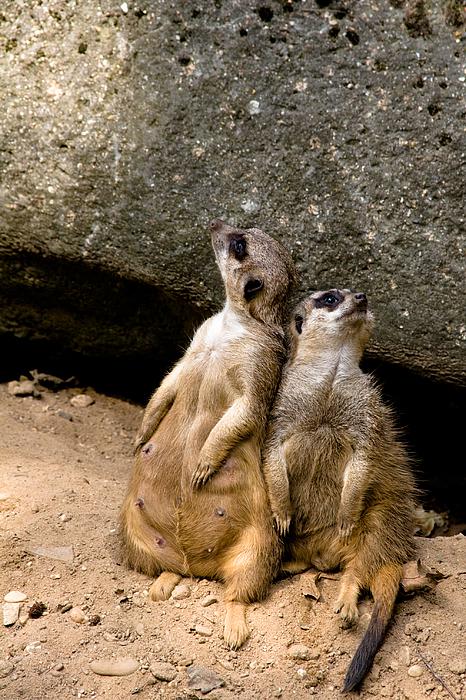 Meerkats Photograph - Meerkats Keeping An Eye Out Part 2 by Gerth Jan Helmes