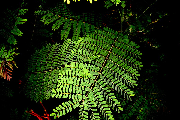 Fern Photograph - Mexican Bird Of Paradise by Lessandra Grimley
