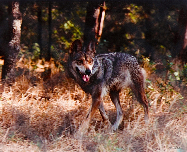 Wolf Photograph - Mexican Red Wolf by DiDi Higginbotham