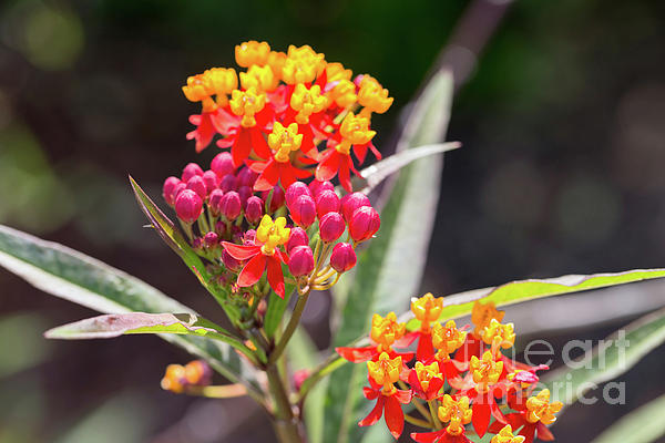 Butterfly Weed Photograph - Milkweed Silky Deep Red by Louise Heusinkveld