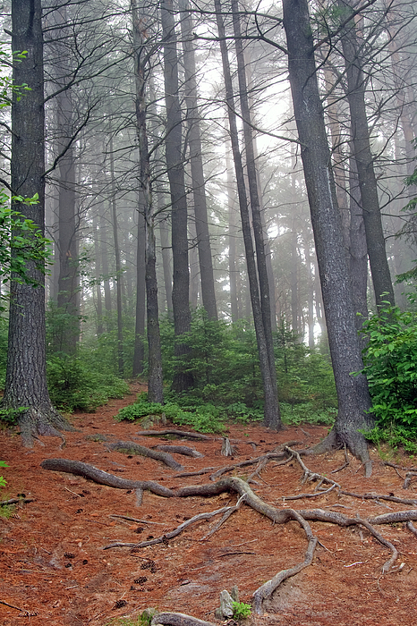 Ontario Photograph - Misty Morning In An Algonquin Forest by Peter Pauer