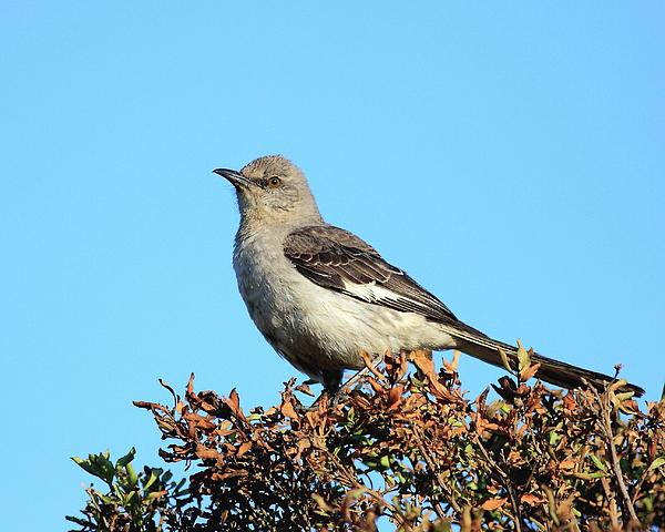 Bird Photograph - Mockingbird . 7682 by Wingsdomain Art and Photography