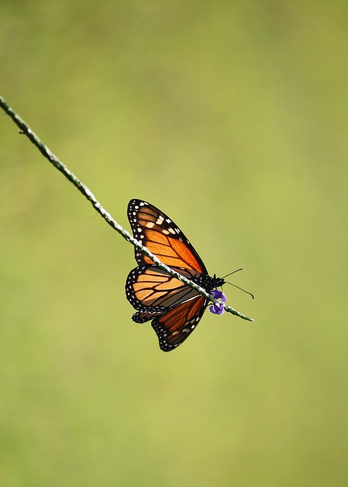 Nature Photograph - Monarch And Natural Green Canvas by Carol Groenen